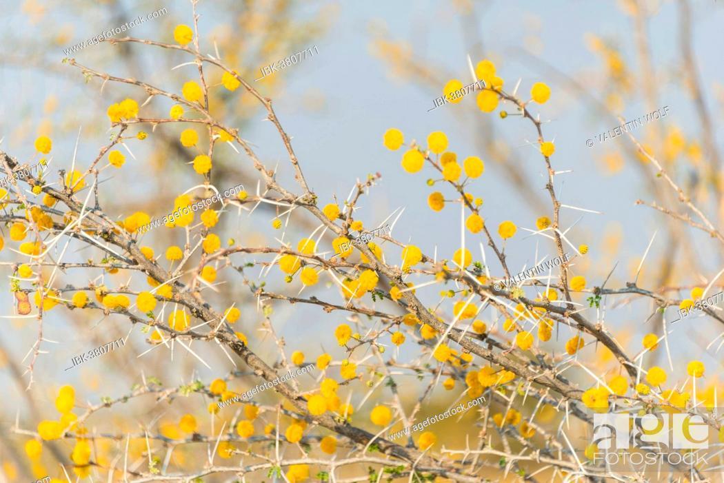Stock Photo: Camel thorn tree (Acacia erioloba), Etosha National Park, Namibia.