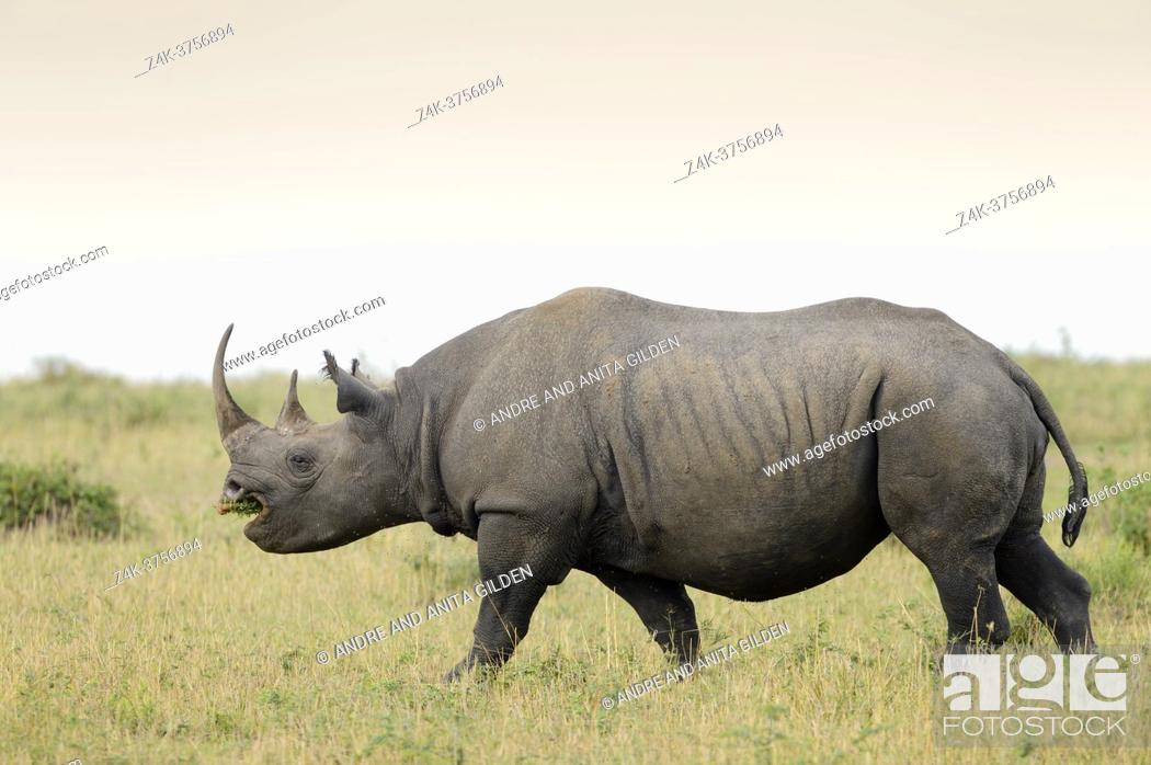 Stock Photo: Black Rhinoceros (Diceros bicornis) walking and foraging at savanna, with acacia in the mouth.