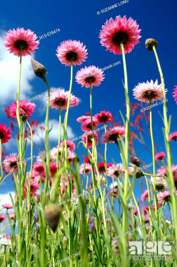 Stock Photo: Spring wildflowers in field. Paper daisies (Rhodanthe chlorocephala), endemic to Western Australia.
