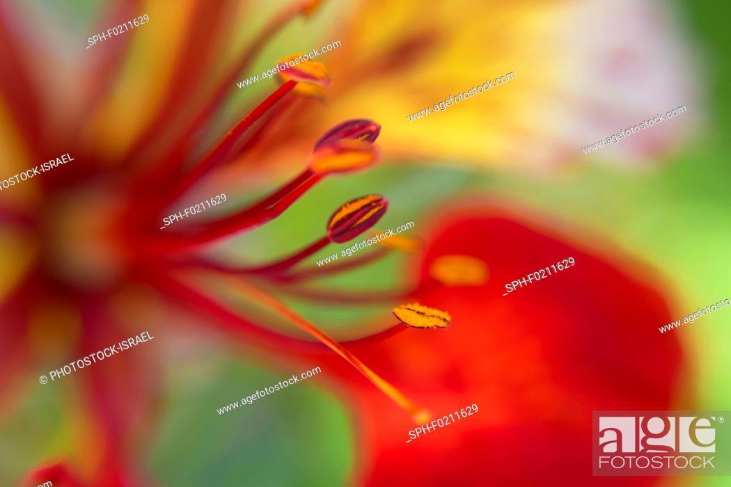 Stock Photo: Flame tree (Delonix regia) flower.