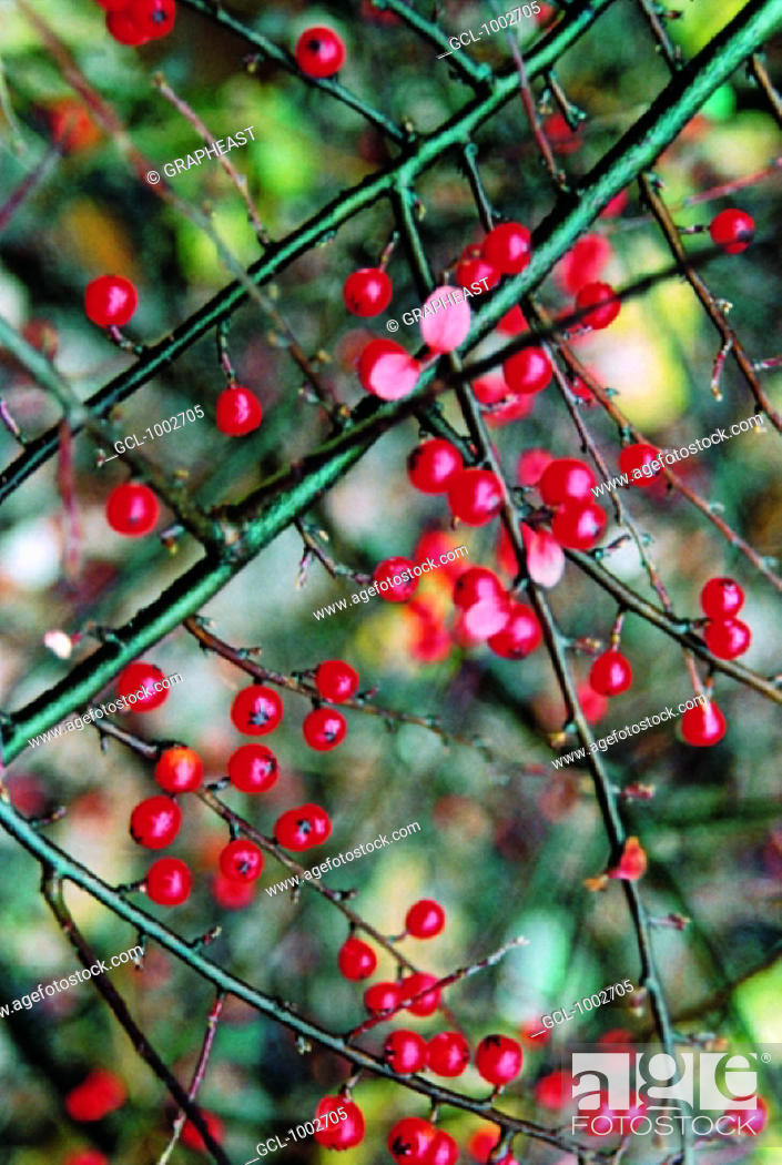 Stock Photo: Red berries on a bush.