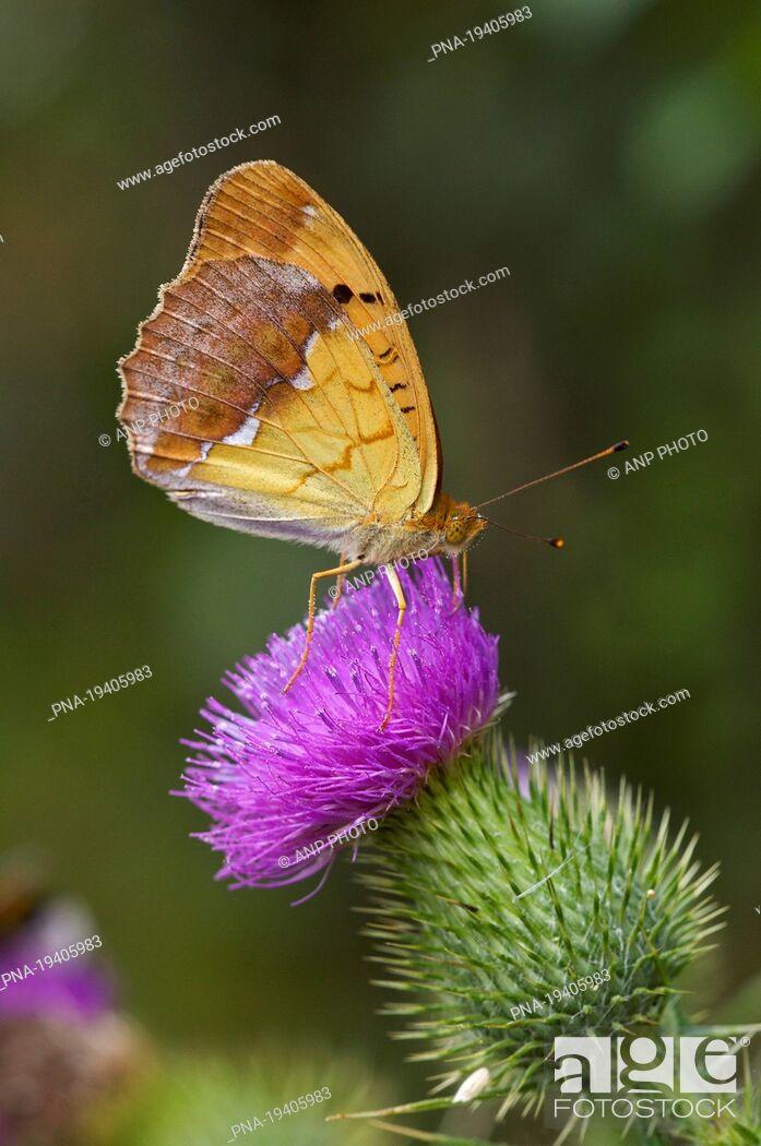 Imagen: Pallasıs Fritillary Argynnis laodice - Biebrza National Park, Biebrzanski Park Narodowy, Podlaskie, Podlachia, Poland, Europe.