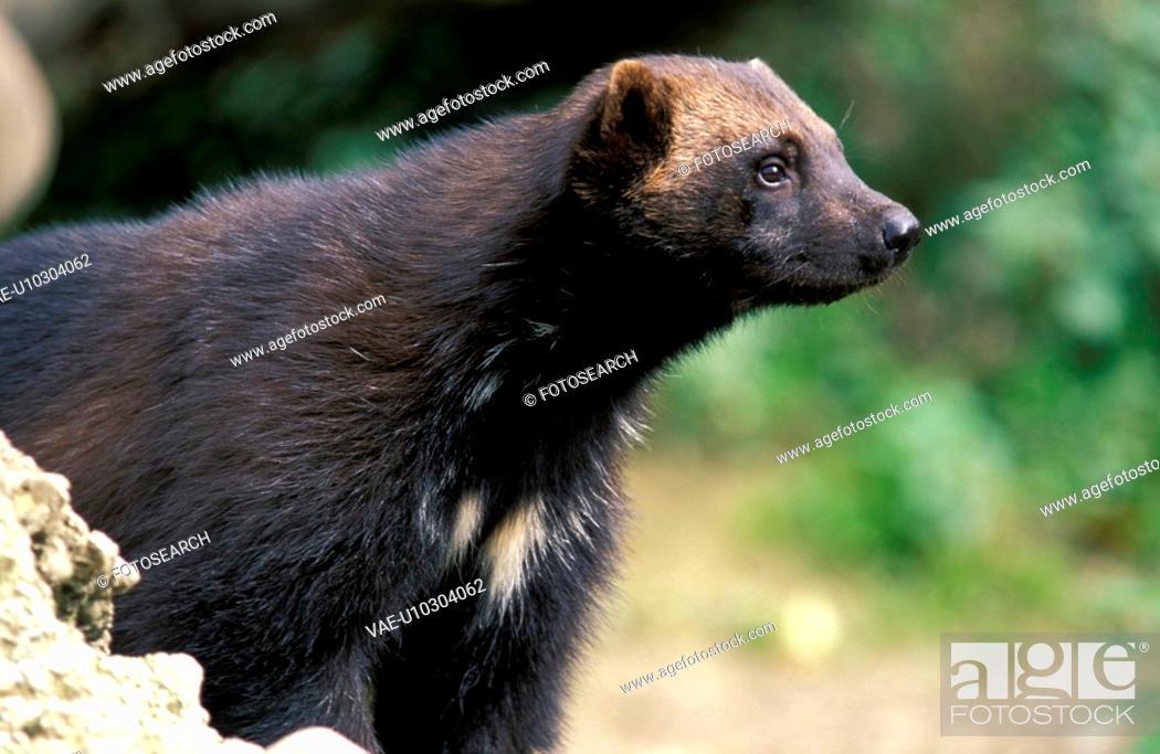 Stock Photo: brown, carnivore, carnivora, animals.
