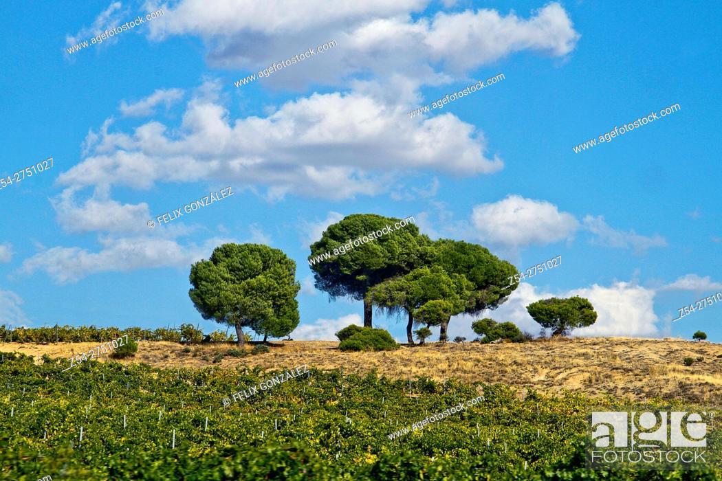 Stock Photo: Pines trees at la Seca, Castile And Leon, Valladolid, Spain, Europe.