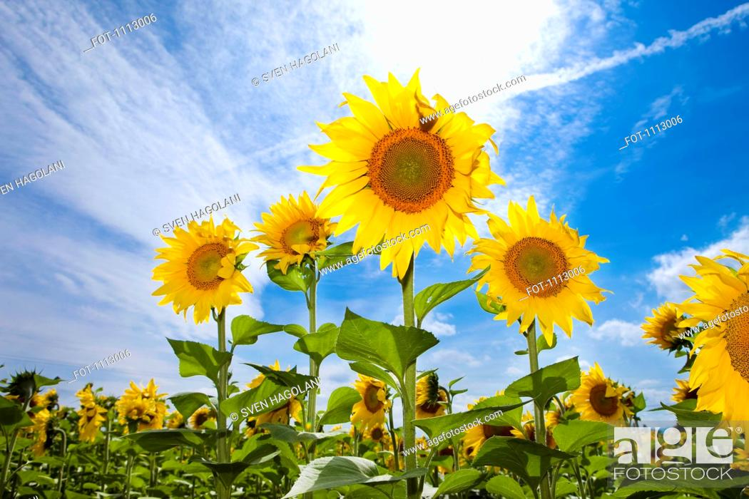 Stock Photo: Sunflowers growing in a field.