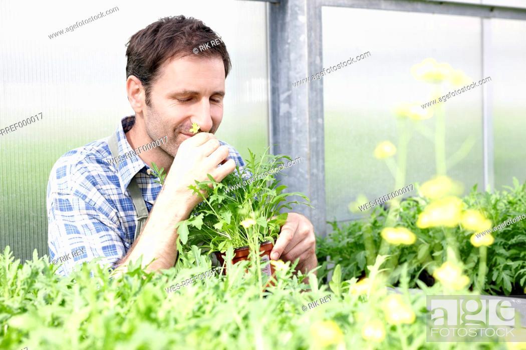 Stock Photo: Germany, Bavaria, Munich, Mature man smelling rocket plants in greenhouse.