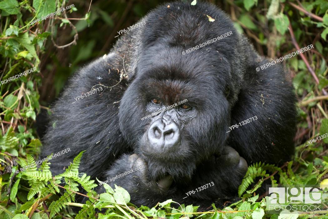Stock Photo: Mountain Gorilla, Gorilla beringei beringei, portrait of a silverback lying in vegetation, Volcanoes National Park, Rwanda.