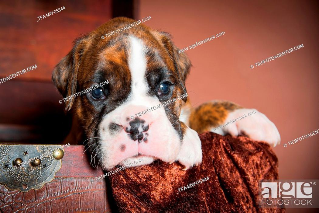Stock Photo: German Boxer Puppy.