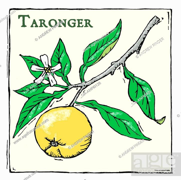 Imagen: Cumquat (Fortunella japonica, Taronger), tree branch with flower and fruit.