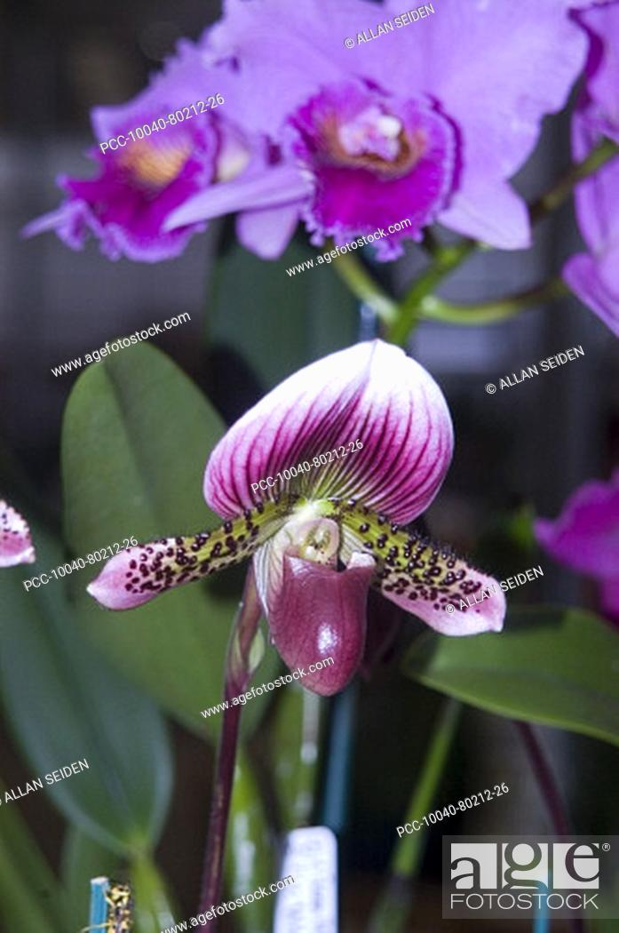 Stock Photo: orchids among green leaves.