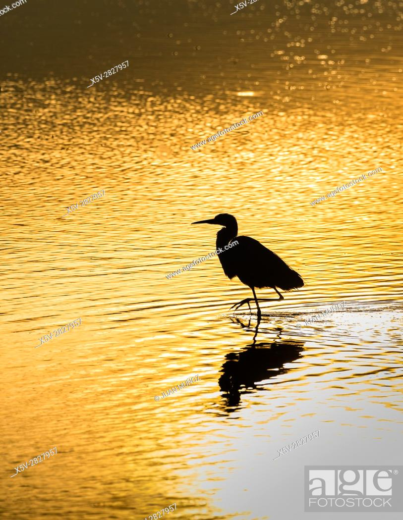 Imagen: Grey heron at sunrise on the marsh. Doñana Natural Park. Seville. Andalusia. Spain.