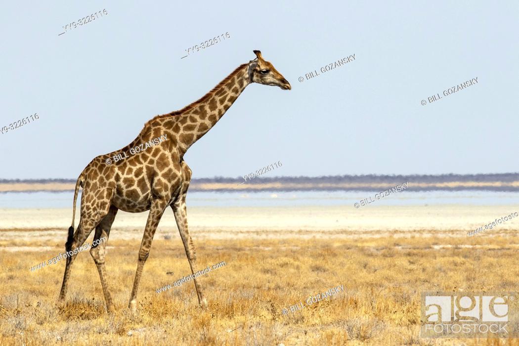 Imagen: Giraffe walking near Etosha Pan, Etosha National Park, Namibia, Africa.