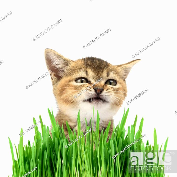 Stock Photo: Kitten golden ticked british chinchilla straight sits on a white background and green leaves of sprouted cereals, cat makes a funny face.