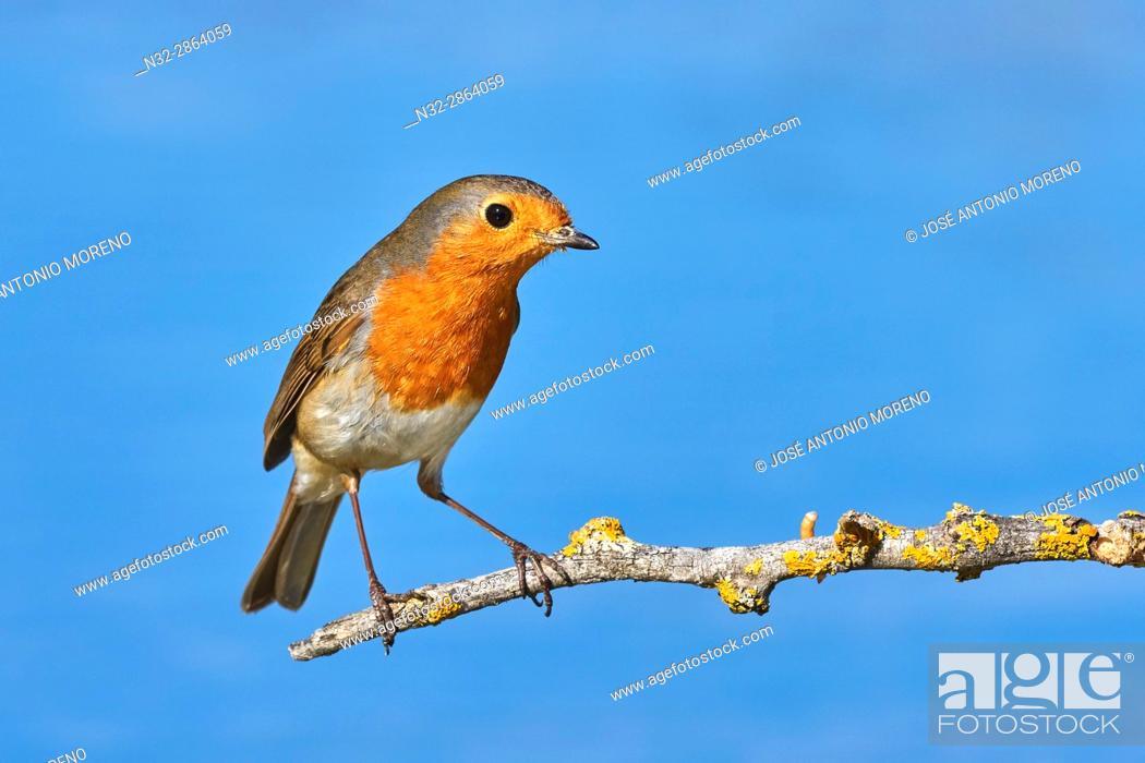 Stock Photo: European Robin (Erithacus rubecula). Malaga, Andalusia, Spain.