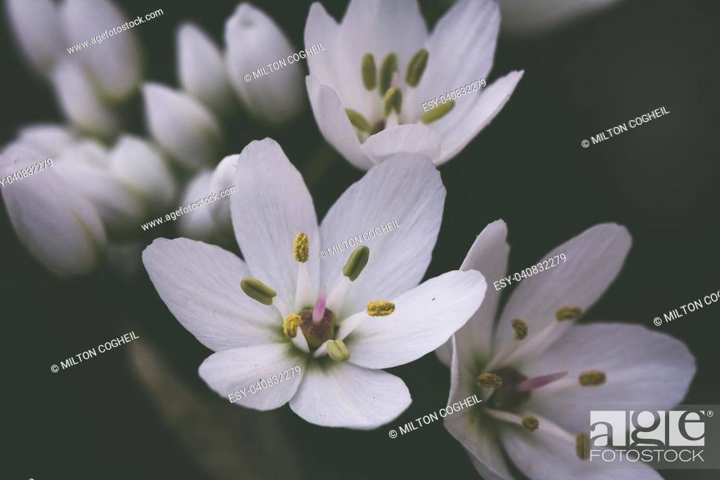Stock Photo: Small white delicate Allium flowers.
