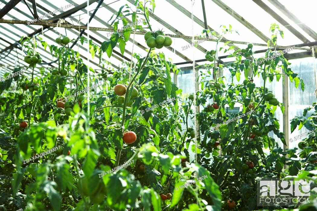 Stock Photo: Tomatoes growing in greenhouse.