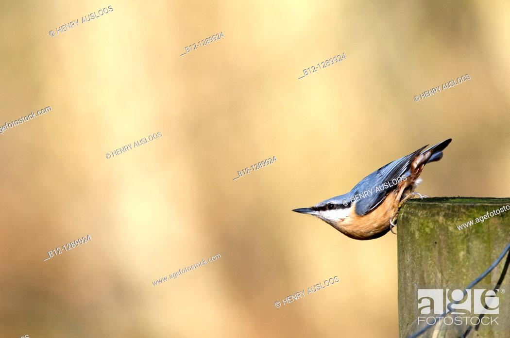 Stock Photo: Wood or European Nuthatch (Sitta europaea).