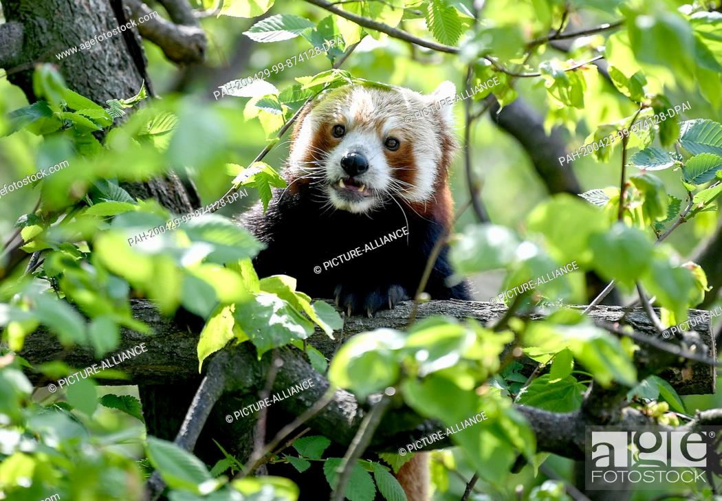 Stock Photo: 28 April 2020, Berlin: A small panda in its enclosure in the animal park. The red panda is native to the eastern Himalayas and southwest China and feeds mainly.