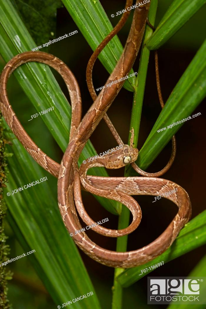 Stock Photo: Blunthead Tree Snake Imantodes cenchoa - Costa Rica - arboreal - tropical rainforest.
