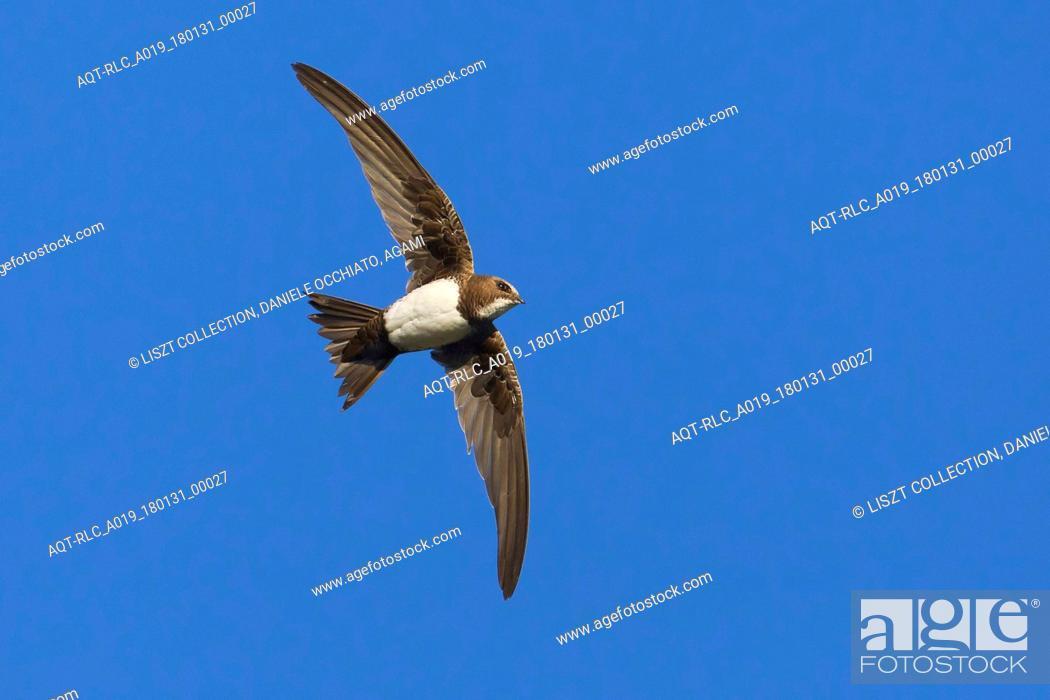 Stock Photo: Alpine Swift in flight, Alpine Swift, Tachymarptis melba.