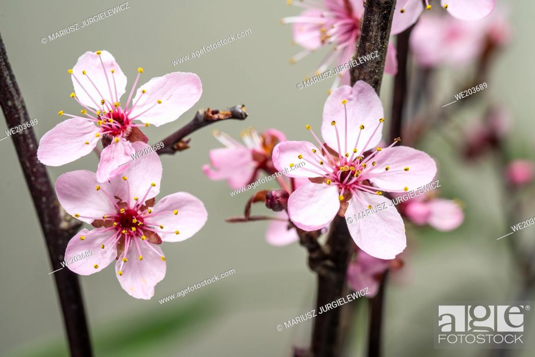 Stock Photo: Wild plum, also called American plum is a small, fast-growing, short-lived, colony-forming native tree, commonly found along fencerows, open fields.