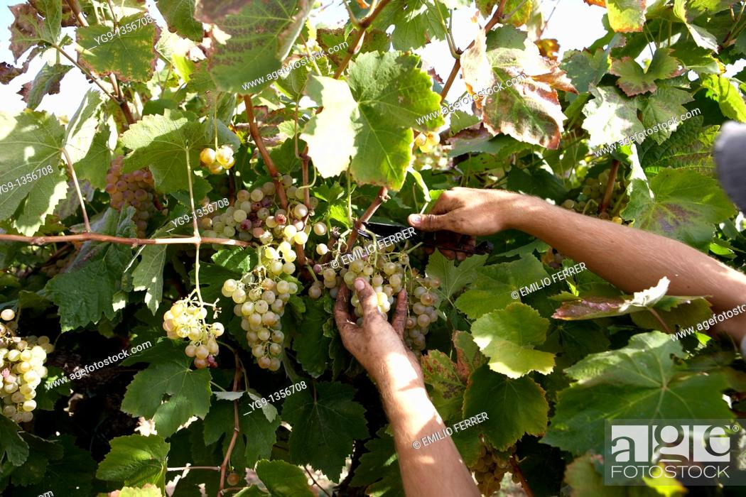 Stock Photo: Collecting racemes of grape in a vineyard  Raymat  LLeida  Spain.