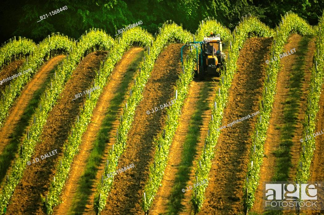 Stock Photo: Vineyard in spring, at Panjas, in the Bas Armagnac area, Gers, Midi-Pyrenees, France.