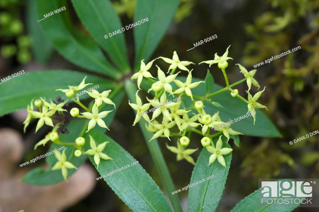 Stock Photo - rubia peregrina flowers, sibillini mountains national park, italy
