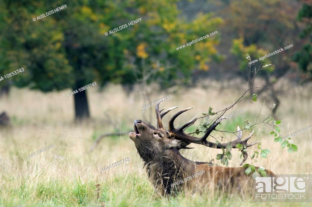 Stock Photo: 10853743, Red deer, Troating, Cervus elaphus, Anim.