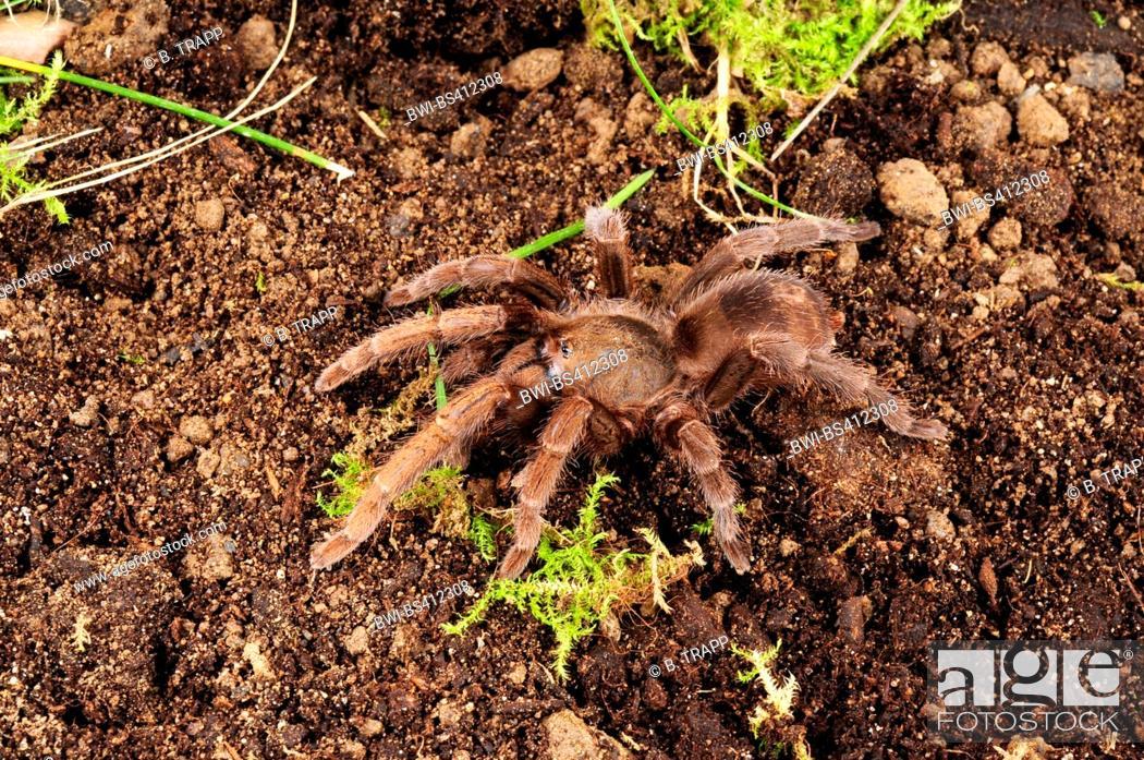 Stock Photo: bird spider (Acanthopelma beccarii), on the ground, Guyana.