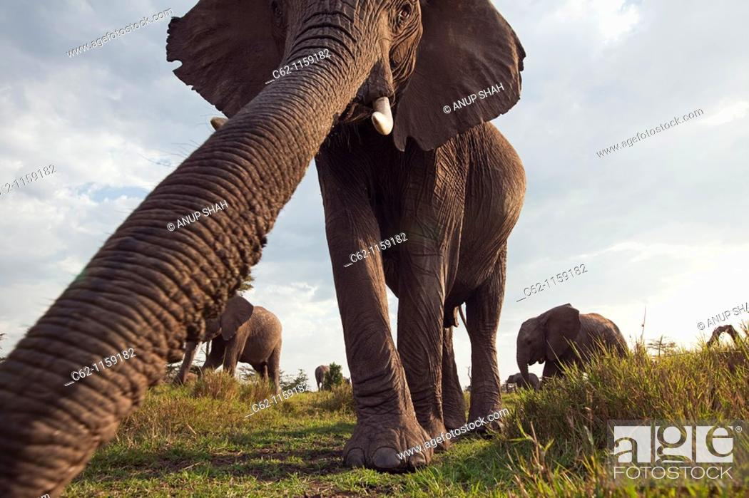 Stock Photo: African elephant (Loxodonta africana) investigating with it's trunk -wide angle perspective-, Maasai Mara National Reserve, Kenya.