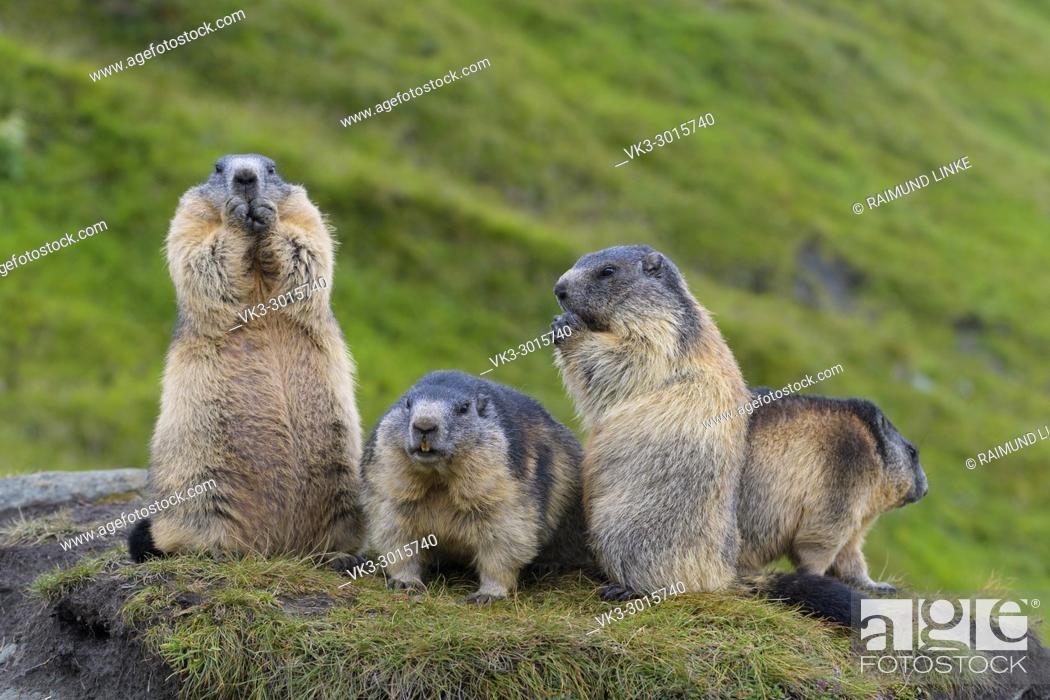 Imagen: Alpine Marmot, Marmota marmota, group of animals, Hohe Tauern National park, Austria.