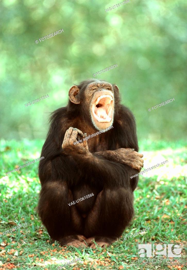 Stock Photo: Chimpanzee.