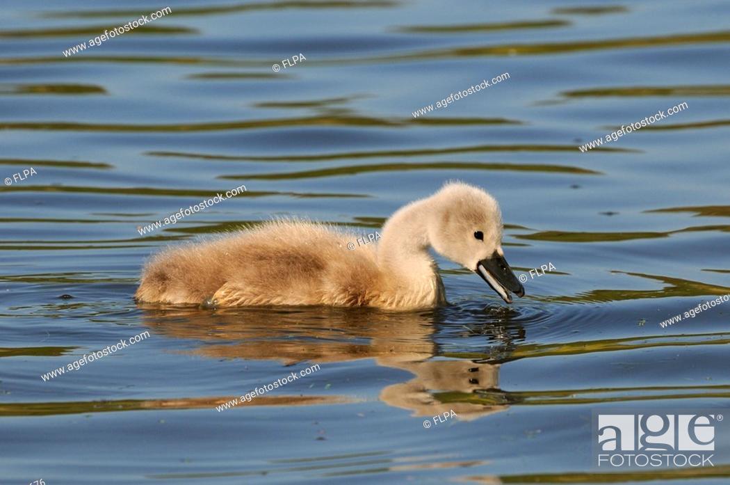 Stock Photo: Mute Swan Cygnus olor cygnet, feeding on water, Abbotsbury, Dorset, England.