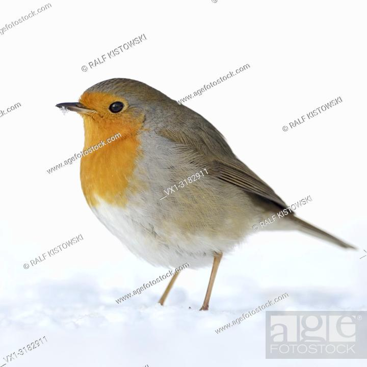 Stock Photo: Beautiful Robin Redbreast ( Erithacus rubecula ) sitting in snow on the ground, fluffy plumage, cold winter, wildlife, Europe. .
