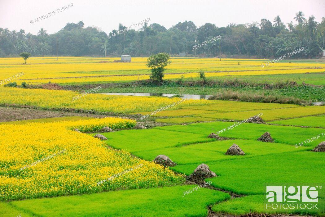 Imagen: mustard field Bangladesh Manikgonj, Bangladesh.