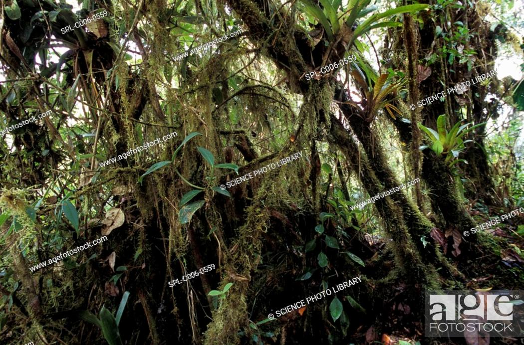 Stock Photo: Rainforest. Moss-covered trees in a rainforest in Ecuador.