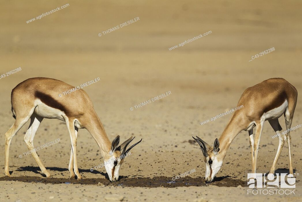 Stock Photo: Springbok (Antidorcas marsupialis). 2 Females, drinking at a waterhole. Kalahari Desert, Kgalagadi Transfrontier Park, South Africa.