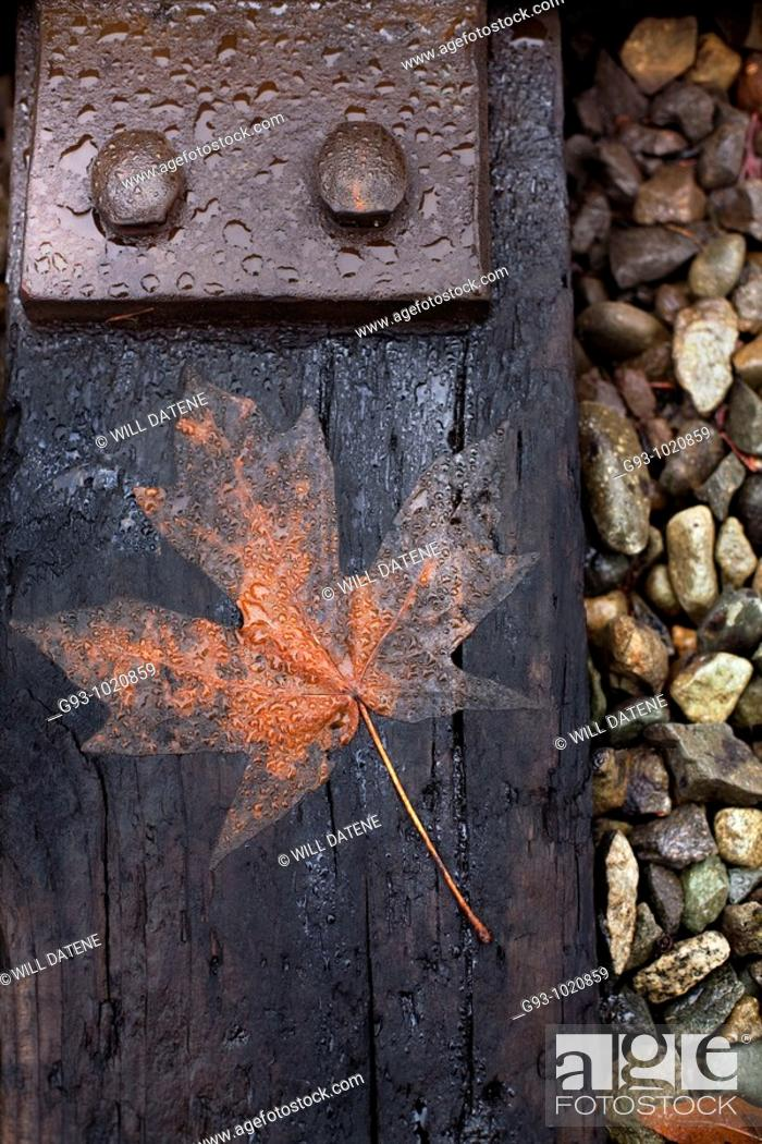Stock Photo: CLOSE UP OF MAPLE LEAF ON RAILROAD TIE.