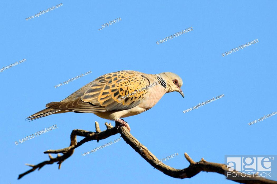 Stock Photo: Dove (Streptopelia sp.). Puertollano mountains, Ciudad Real, Spain.