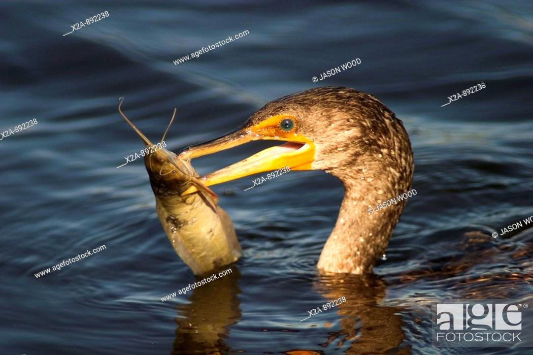 Stock Photo: BIRD WITH FISH IN HIS MOUTH.