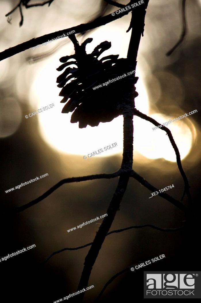 Stock Photo: Pine cone.