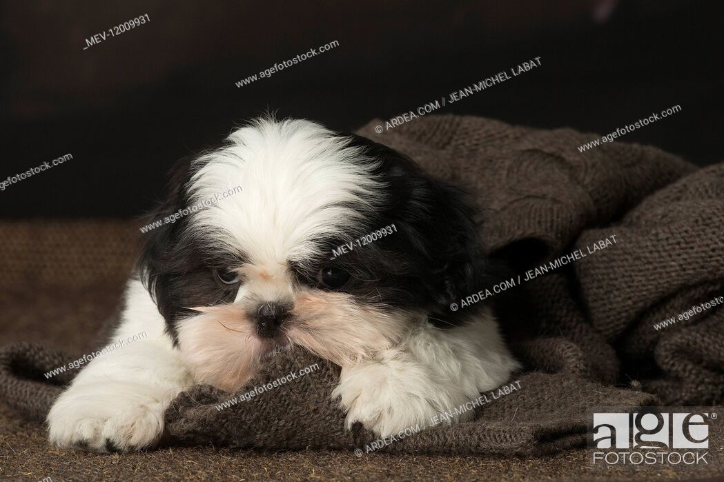 Stock Photo: Shih Tzu puppy indoors.