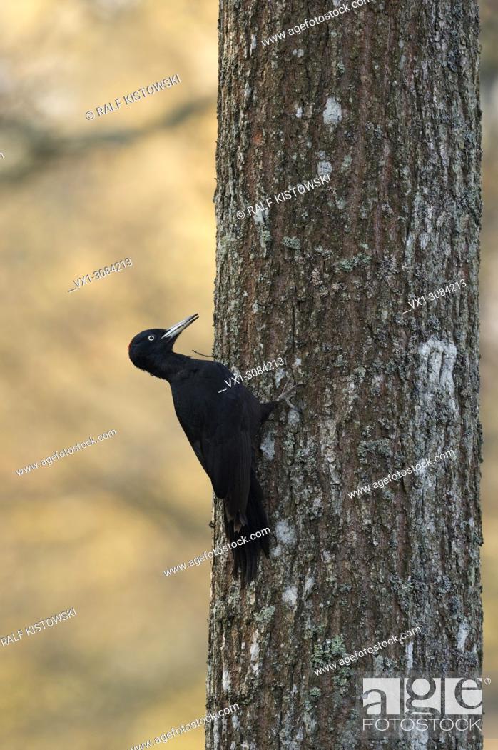Stock Photo: Black Woodpecker ( Dryocopus martius ) climbing up an oak tree, searching for food, nice early morning light, wildlife, Europe.
