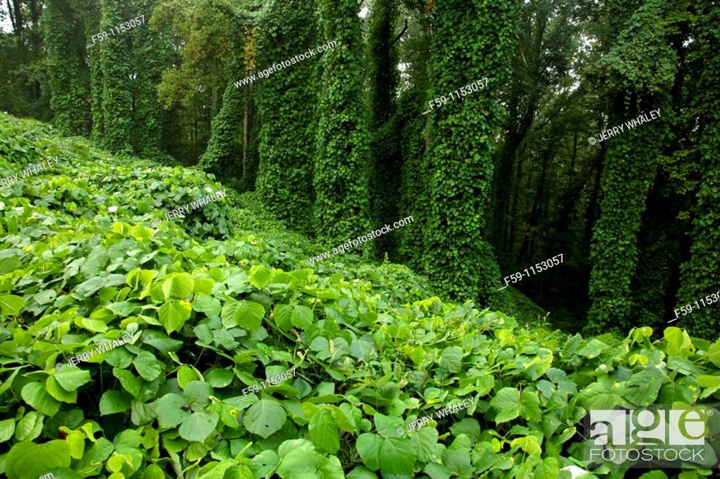 Stock Photo: Kudzu at Fort Dickerson Park, Knoxville, TN.
