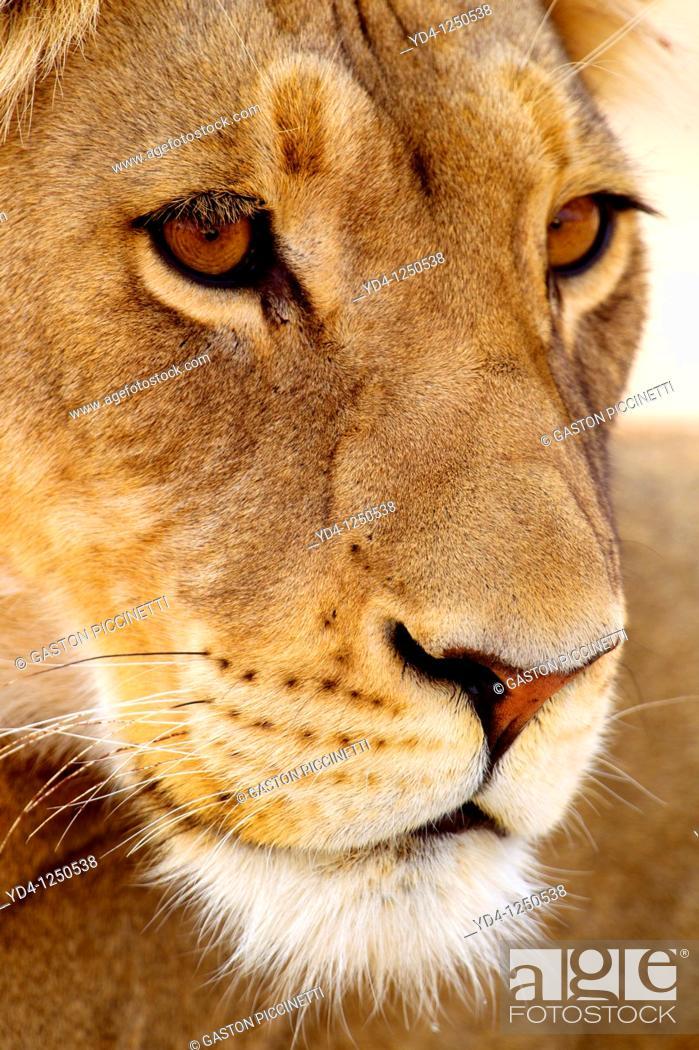 Stock Photo: African lion Panthera leo - Female, Kgalagadi Transfrontier Park, Kalahari desert, South Africa.