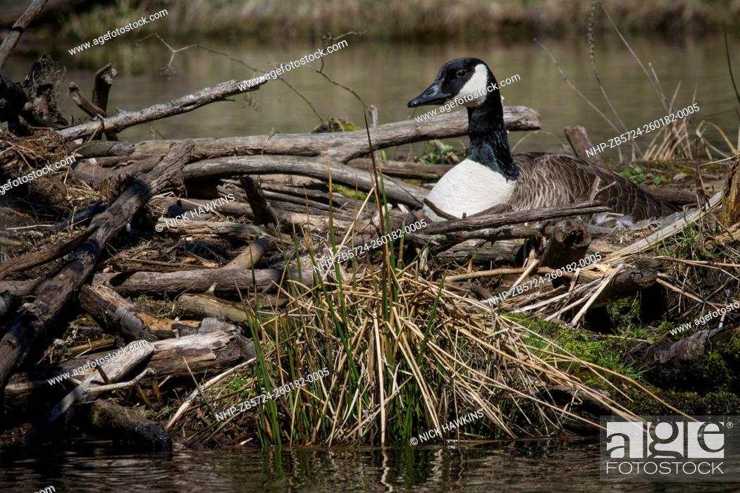 canada goose brunswick