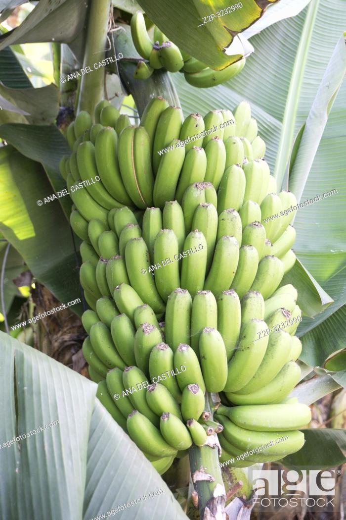 Stock Photo: Cavendish banana plantation Tenerife Canary islands Spain.