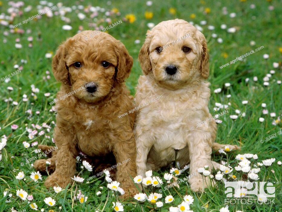Stock Photo: Labradoodle Puppies sitting beside each other in field of baby daisies.