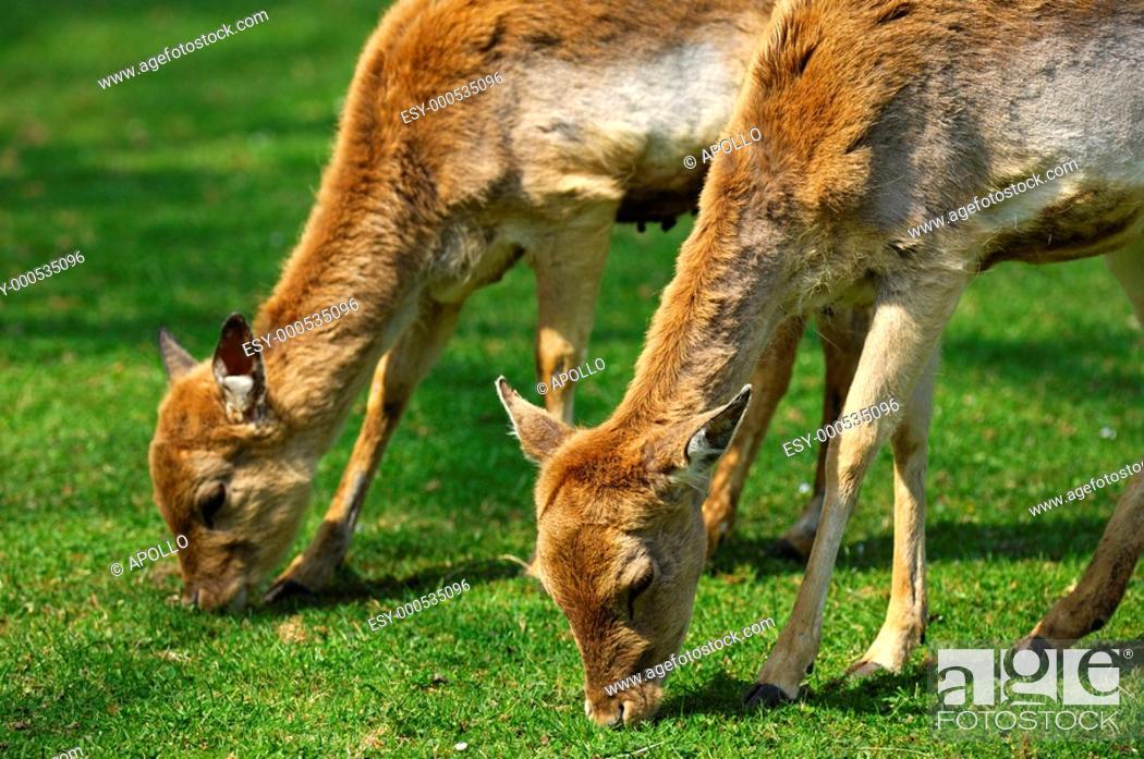 Stock Photo: Browsing female Fallow Deers, Dama dama.